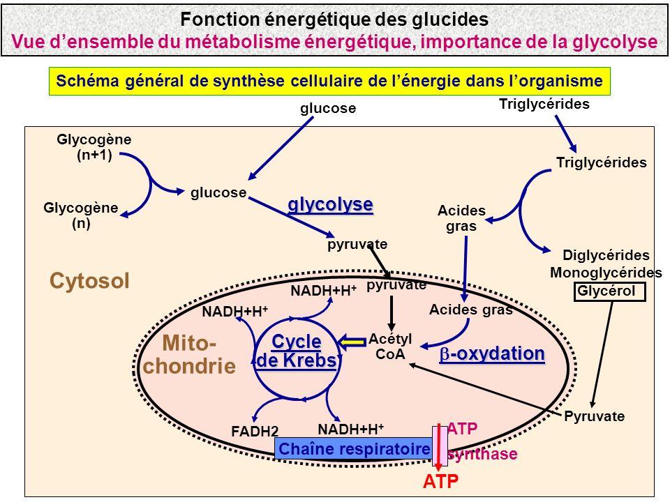Schéma général de synthèse cellulaire de lénergie dans lorganisme Mito- chondrie Cytosol glucose Glycogène (n+1) Glycogène (n) glycolyse pyruvate Cycl