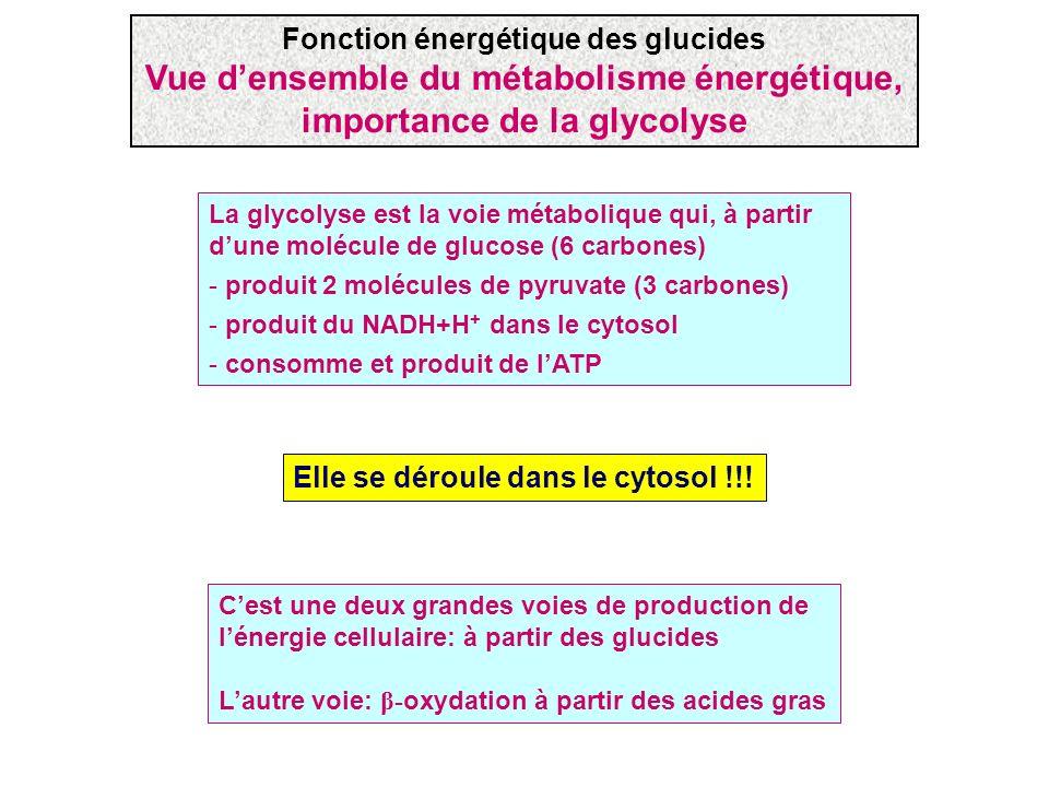 La glycolyse est la voie métabolique qui, à partir dune molécule de glucose (6 carbones) - produit 2 molécules de pyruvate (3 carbones) - produit du N