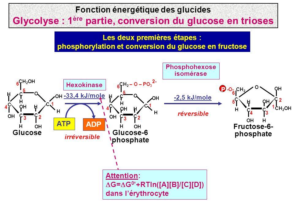 CH 2 – O – PO 3 C H OH C C C C O H H 1 2 3 4 5 6 2- OH H H CH 2 OH C H OH C C C C O H H 1 2 3 4 5 6 H H Glucose Glucose-6 phosphate Fructose-6- phosph