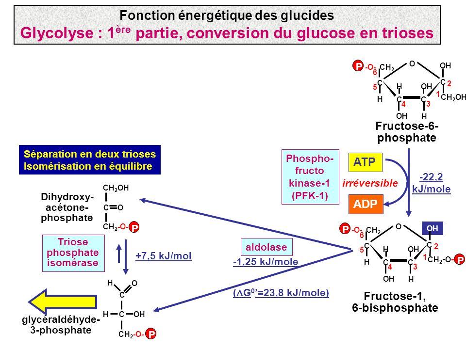 Fructose-1, 6-bisphosphate CH 2 - O - -O- CH 2 OH C C C C O H H 2 34 5 1 6 H P P ATP ADP Phospho- fructo kinase-1 (PFK-1) -22,2 kJ/mole irréversible F