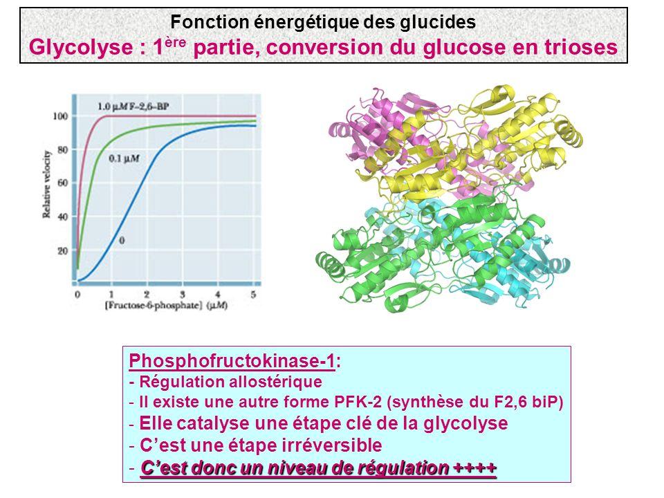Phosphofructokinase-1: - Régulation allostérique - Il existe une autre forme PFK-2 (synthèse du F2,6 biP) - Elle catalyse une étape clé de la glycolys