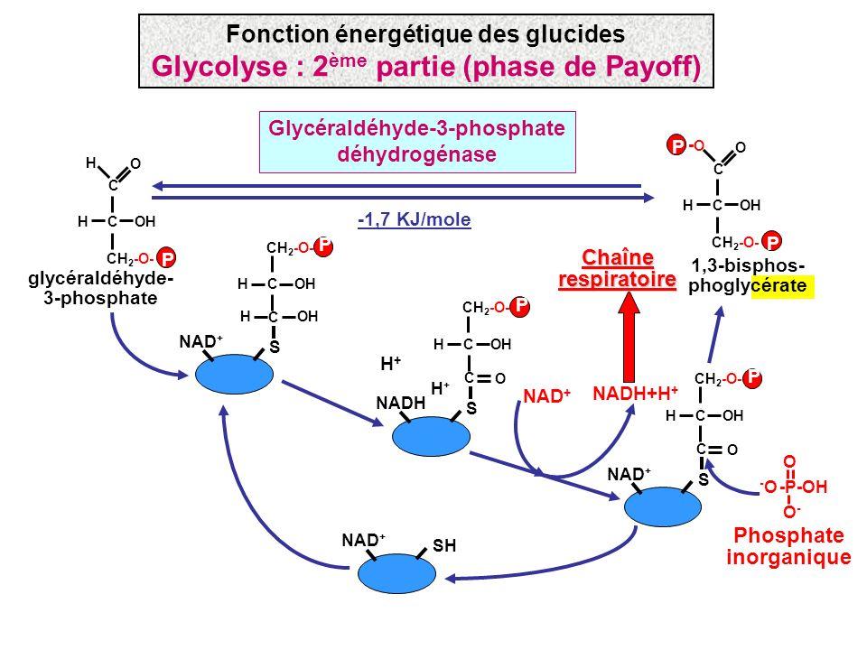 NAD + S COHH CH 2 -O- C P OHH P H+H+ NADH S COHH CH 2 -O- C O H+H+ NAD + SH -1,7 KJ/mole glycéraldéhyde- 3-phosphate COHH CH 2 -O- C -O-O O P P 1,3-bi