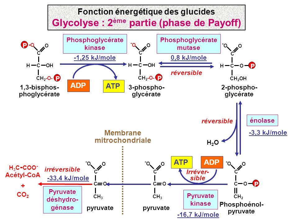 COHH CH 2 -O- C -O-O O P P 1,3-bisphos- phoglycérate COHH CH 2 -O- C -O-O O P 3-phospho- glycérate ATP ADP Phosphoglycérate kinase -1,25 kJ/mole COH C