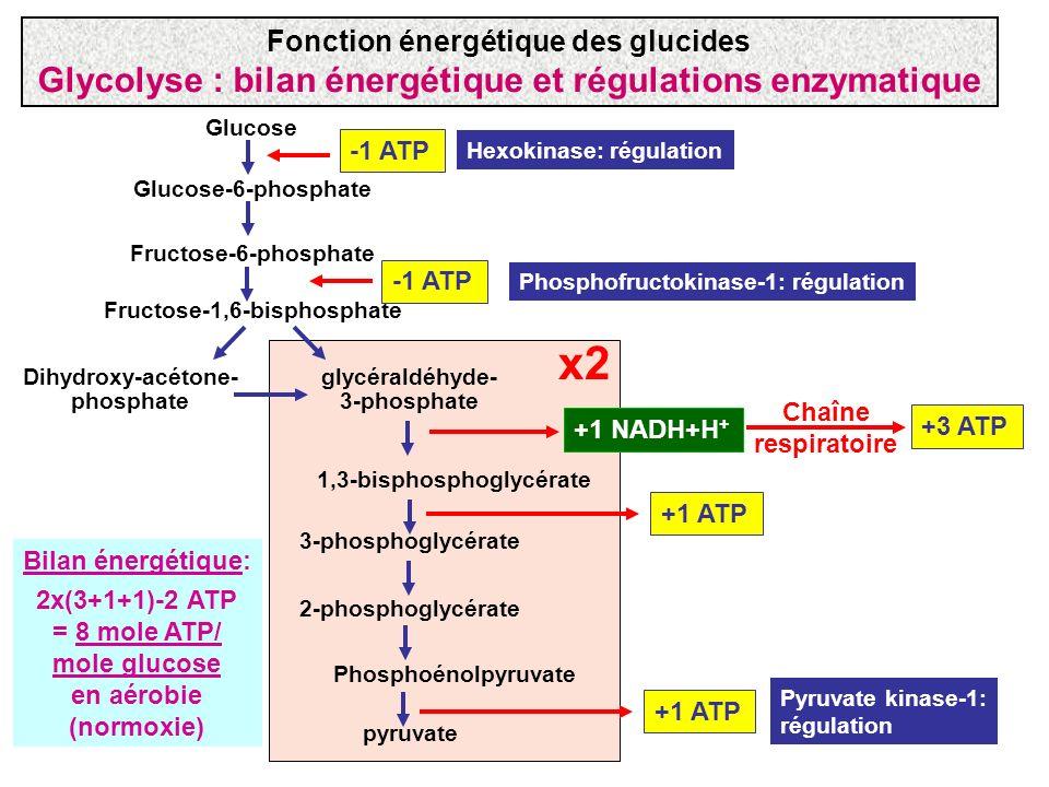 Glucose Glucose-6-phosphate Fructose-6-phosphate Fructose-1,6-bisphosphate -1 ATP Hexokinase: régulation Phosphofructokinase-1: régulation glycéraldéh