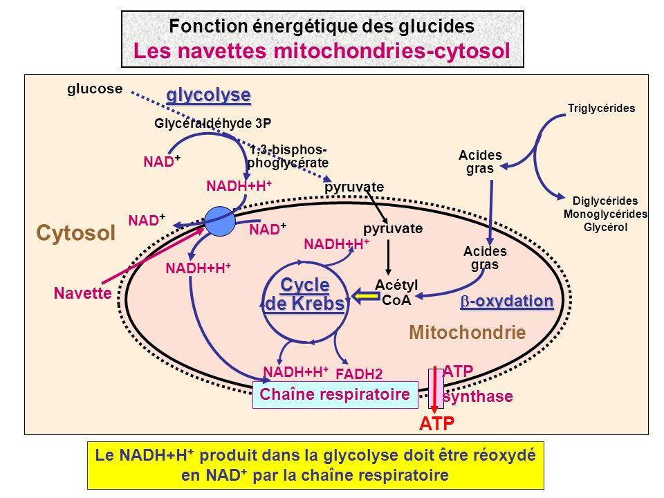 Cycle de Krebs FADH2 NADH+H + Mitochondrie Triglycérides Diglycérides Monoglycérides Glycérol Acides gras Acétyl CoA -oxydation -oxydation ATP synthas