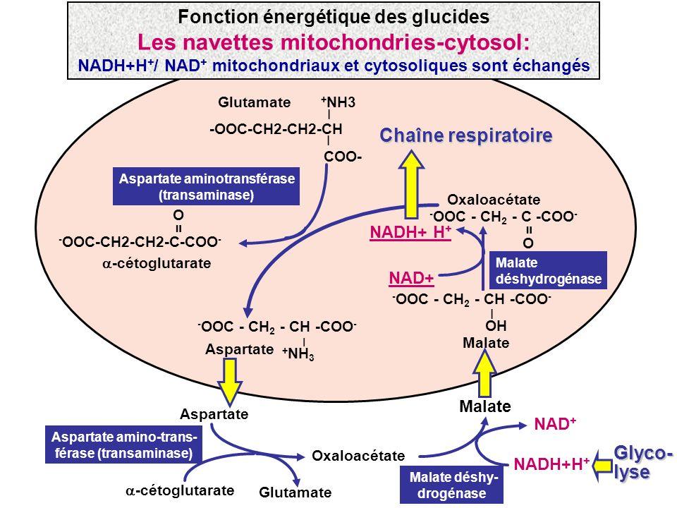 Glutamate + NH3 -OOC-CH2-CH2-CH COO- _ _ - OOC - CH 2 - CH -COO - + NH 3 _ Aspartate Aspartate aminotransférase (transaminase) O - OOC-CH2-CH2-C-COO -