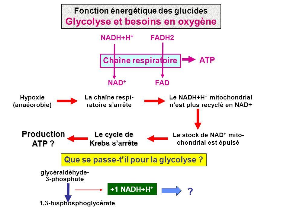 Chaîne respiratoire NADH+H + FADH2 NAD + FAD ATP Hypoxie (anaéorobie) La chaîne respi- ratoire sarrête Le NADH+H + mitochondrial nest plus recyclé en