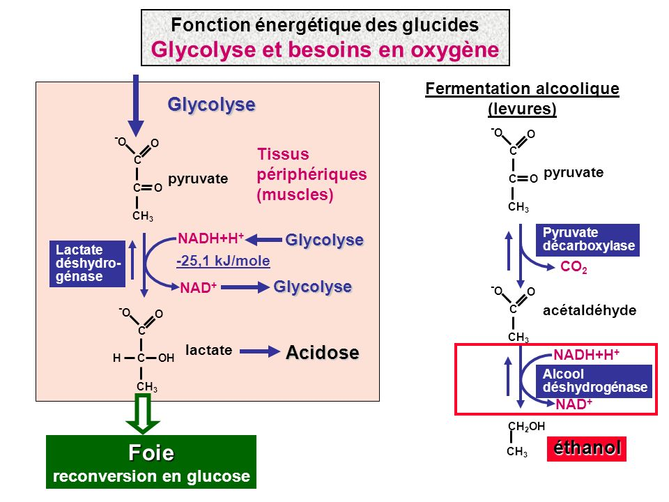 CO CH 3 C -O-O O C -O-O O CO 2 pyruvate NADH+H + NAD + acétaldéhyde CH 3 CH 2 OHéthanol Pyruvate décarboxylase Alcool déshydrogénase Fermentation alco