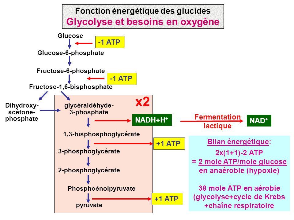 Glucose Glucose-6-phosphate Fructose-6-phosphate Fructose-1,6-bisphosphate Dihydroxy- acétone- phosphate glycéraldéhyde- 3-phosphate 1,3-bisphosphogly