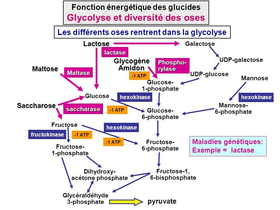 Les différents oses rentrent dans la glycolyseMaltoseMaltase lactaseLactose Galactose UDP-galactose UDP-glucose Phospho- rylase Saccharose Fructose- 1