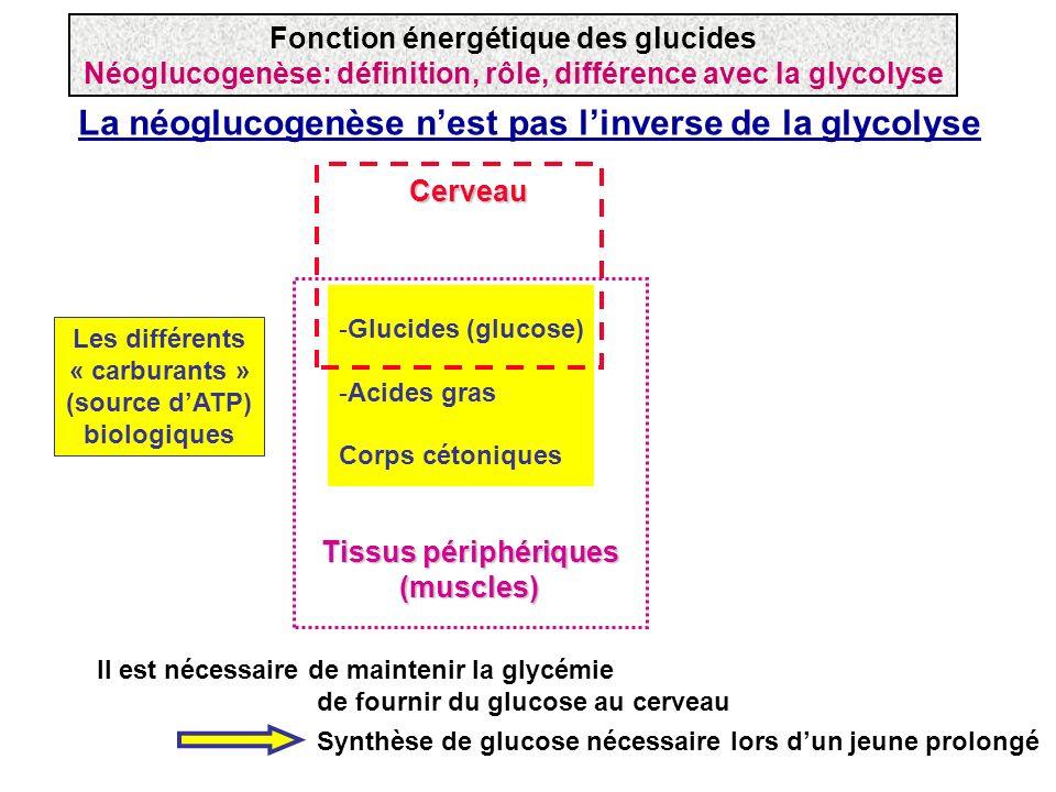 La néoglucogenèse nest pas linverse de la glycolyse -Glucides (glucose) -Acides gras Corps cétoniques Les différents « carburants » (source dATP) biol