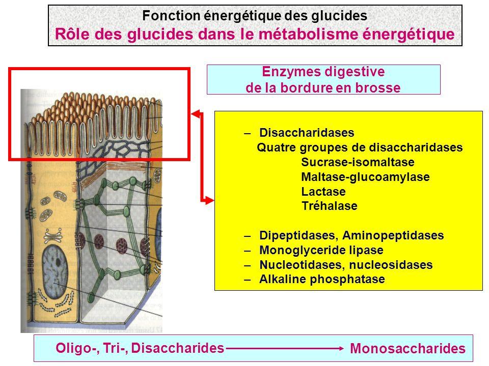 Absorption des monosaccharides Deux familles de transporteurs –SGLT: absorption active secondaire (nécessite de lATP) –GLUT: diffusion facilitée (ne nécessite pas dATP ) La famille GLUT comporte plusieurs membres Fonction énergétique des glucides Rôle des glucides dans le métabolisme énergétique