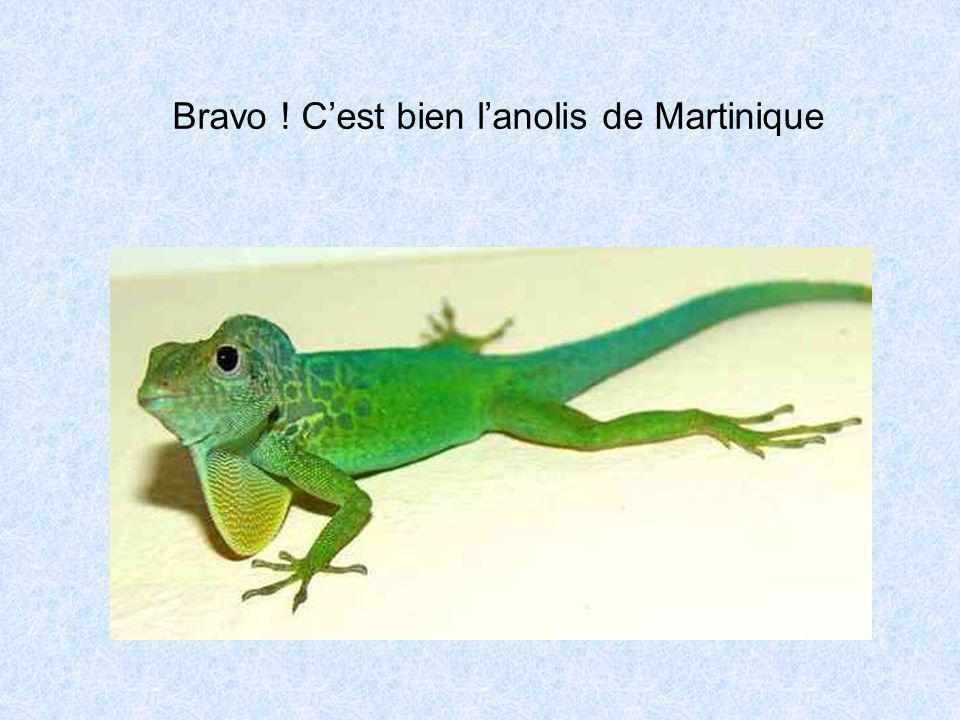 Bravo ! Cest bien lanolis de Martinique