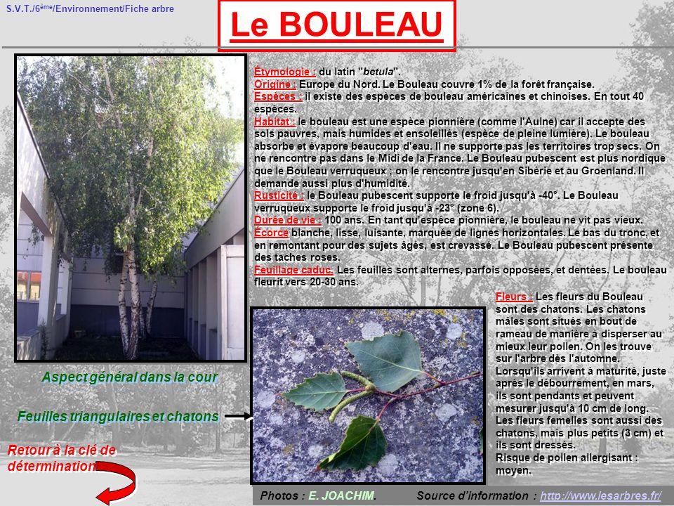 S.V.T./6 ème /Environnement/Fiche arbre Le BOULEAU Aspect général dans la cour Feuilles triangulaires et chatons Retour à la clé de détermination Étymologie : du latin betula .