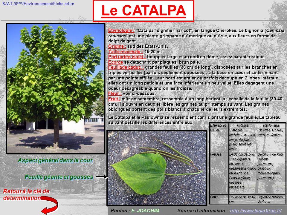S.V.T./6 ème /Environnement/Fiche arbre Le CATALPA Aspect général dans la cour Feuille géante et gousses Retour à la clé de détermination Étymologie : Catalpa signifie haricot , en langue Cherokee.