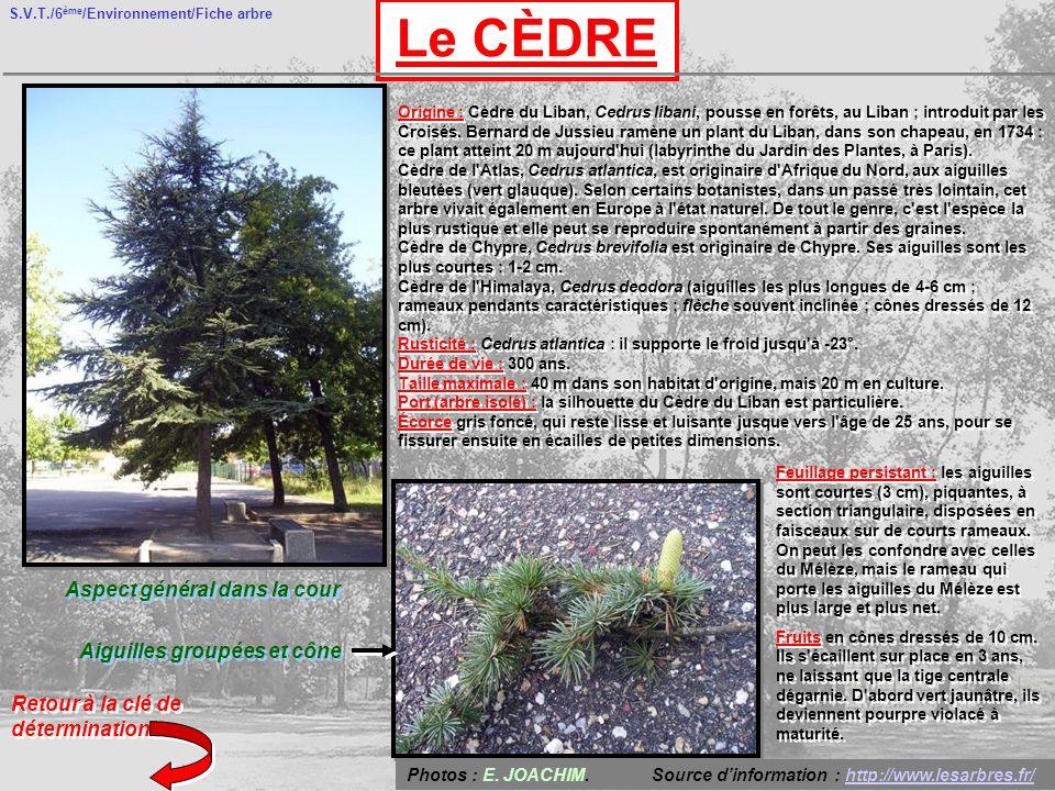 S.V.T./6 ème /Environnement/Fiche arbre Le CÈDRE Aspect général dans la cour Aiguilles groupées et cône Retour à la clé de détermination Origine : Cèdre du Liban, Cedrus libani, pousse en forêts, au Liban ; introduit par les Croisés.