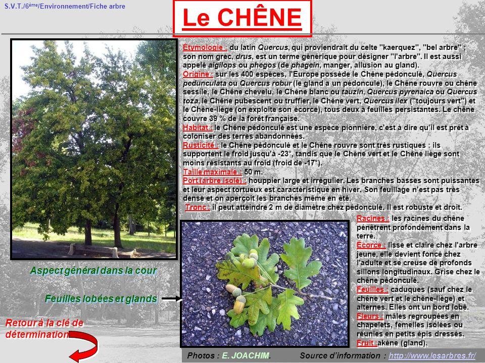 S.V.T./6 ème /Environnement/Fiche arbre Le CHÊNE Aspect général dans la cour Feuilles lobées et glands Retour à la clé de détermination Étymologie : d