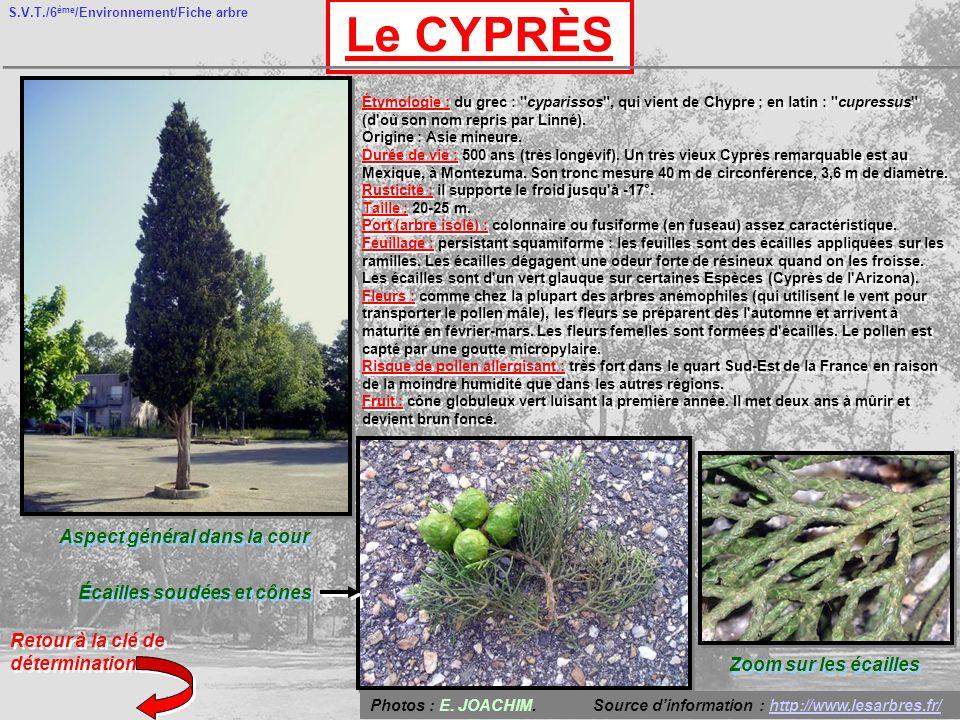 S.V.T./6 ème /Environnement/Fiche arbre Le CYPRÈS Aspect général dans la cour Écailles soudées et cônes Retour à la clé de détermination Étymologie :