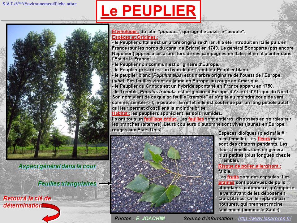 S.V.T./6 ème /Environnement/Fiche arbre Le PEUPLIER Aspect général dans la cour Feuilles triangulaires Retour à la clé de détermination Étymologie : du latin populus , qui signifie aussi le peuple .