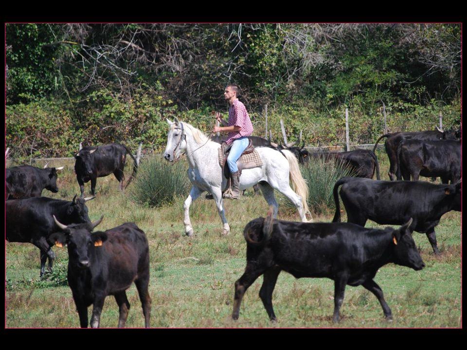 choisissons le taureau à isoler du troupeau