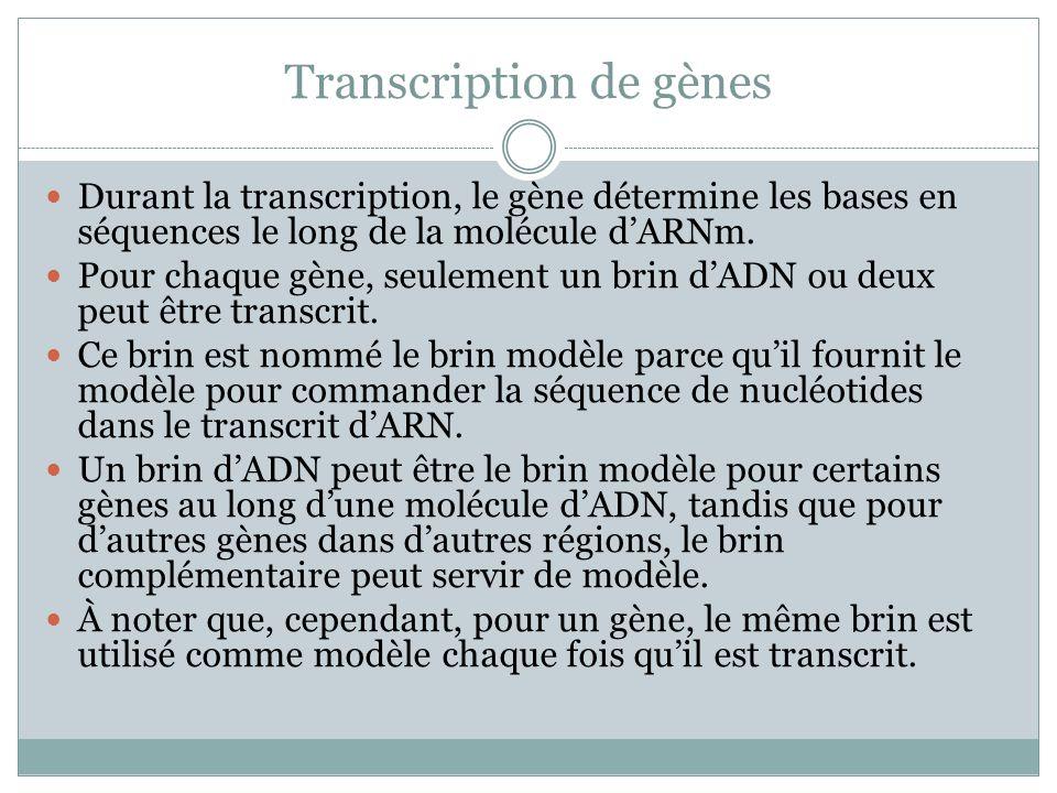 Brins modèle, complémentaire et ARNm Une molécule dARNm est complémentaire plutôt quidentique à son modèle dADN, parce que les bases ARN sont assemblées sur le modèle selon les règles de paires de bases complémentaires.