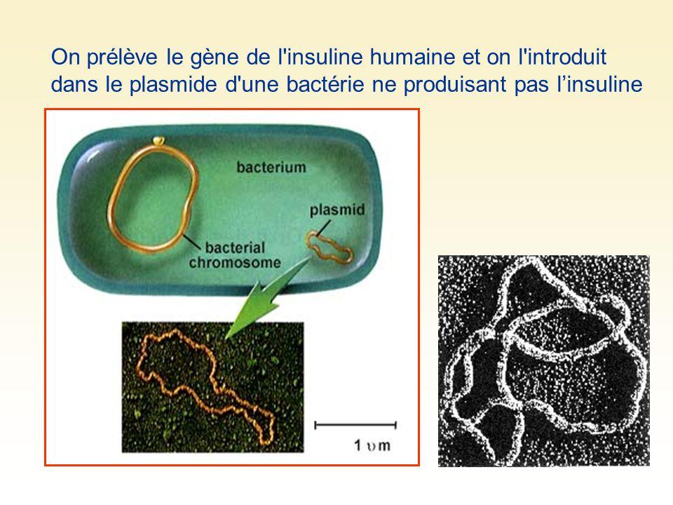 On prélève le gène de l'insuline humaine et on l'introduit dans le plasmide d'une bactérie ne produisant pas linsuline
