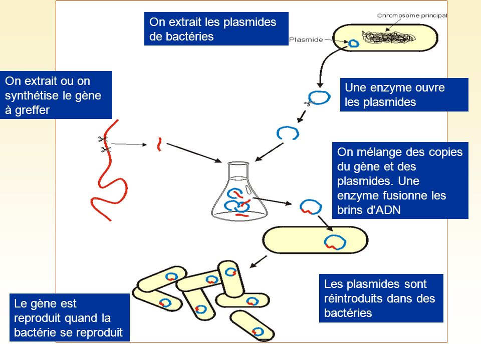 On extrait les plasmides de bactéries Une enzyme ouvre les plasmides On extrait ou on synthétise le gène à greffer On mélange des copies du gène et de