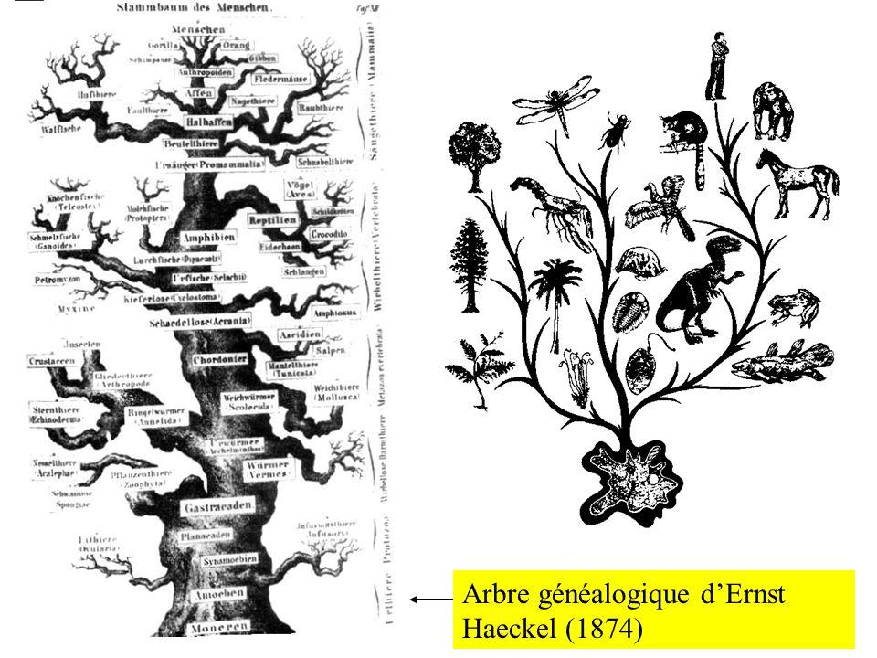 Arbre généalogique dErnst Haeckel (1874)