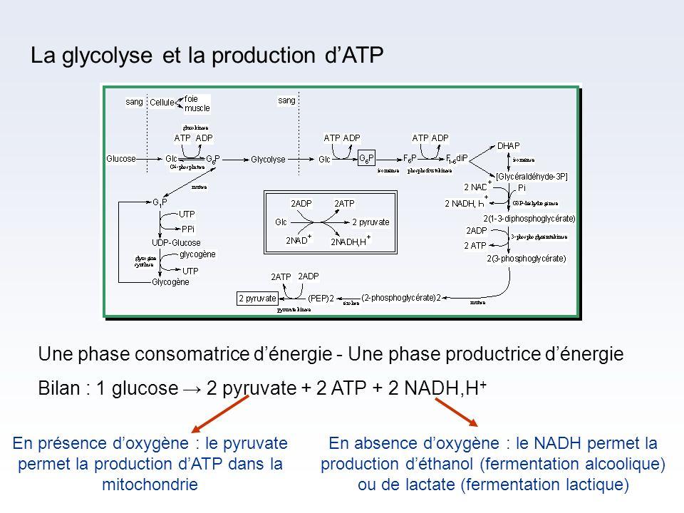 La glycolyse et la production dATP Une phase consomatrice dénergie - Une phase productrice dénergie Bilan : 1 glucose 2 pyruvate + 2 ATP + 2 NADH,H +