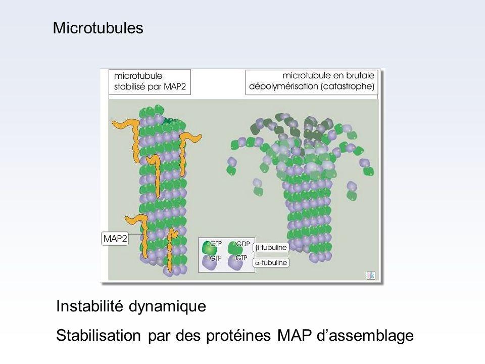 Instabilité dynamique Stabilisation par des protéines MAP dassemblage Microtubules
