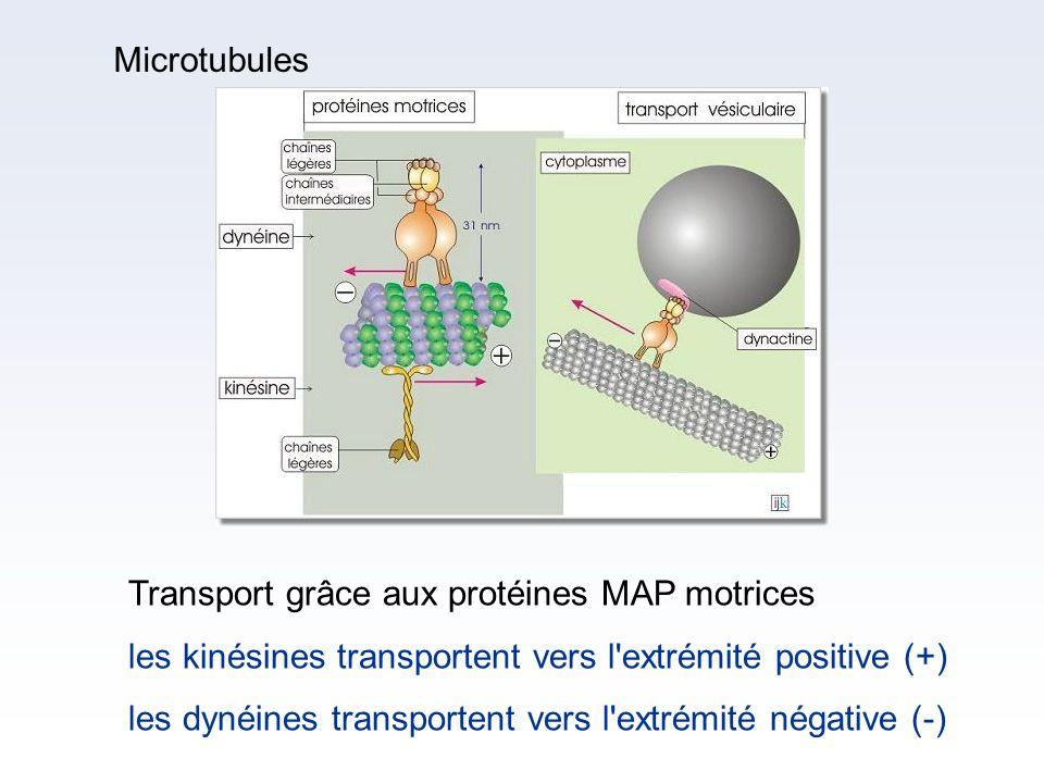 Transport grâce aux protéines MAP motrices les kinésines transportent vers l'extrémité positive (+) les dynéines transportent vers l'extrémité négativ