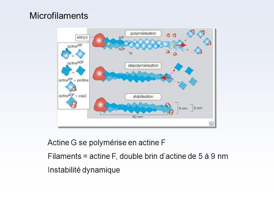 Actine G se polymérise en actine F Filaments = actine F, double brin dactine de 5 à 9 nm Instabilité dynamique Fibres protéiques de 10 nm formant des