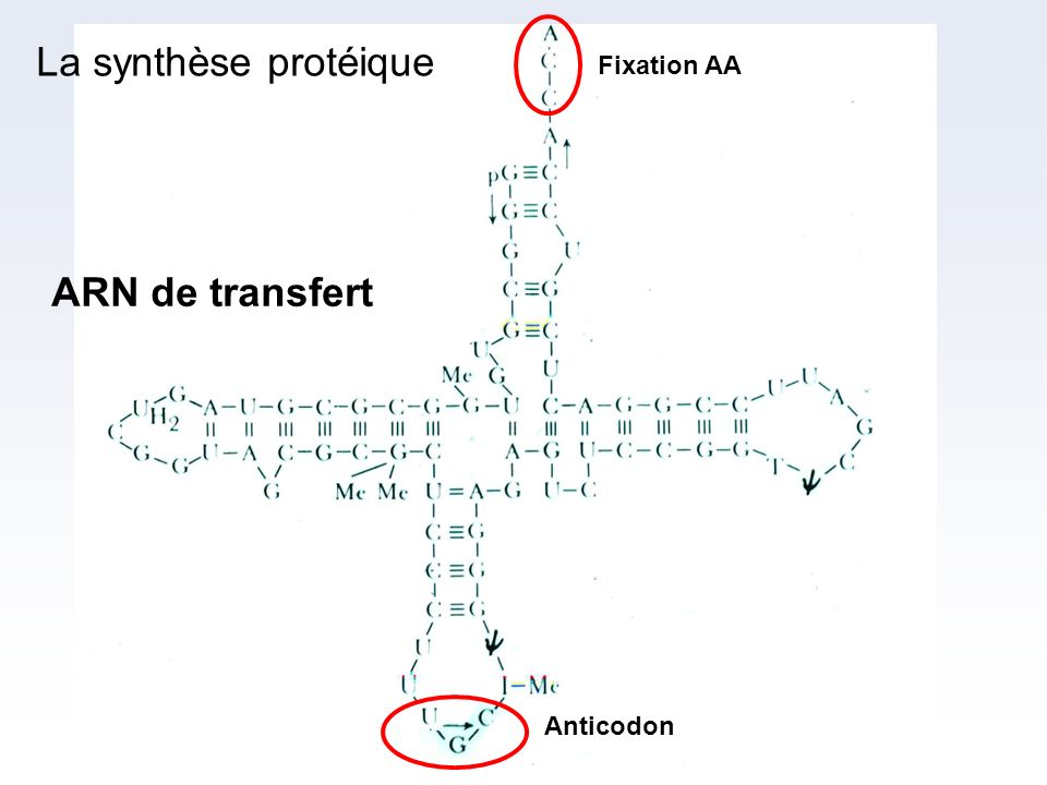 ARN de transfert Fixation AA Anticodon La synthèse protéique