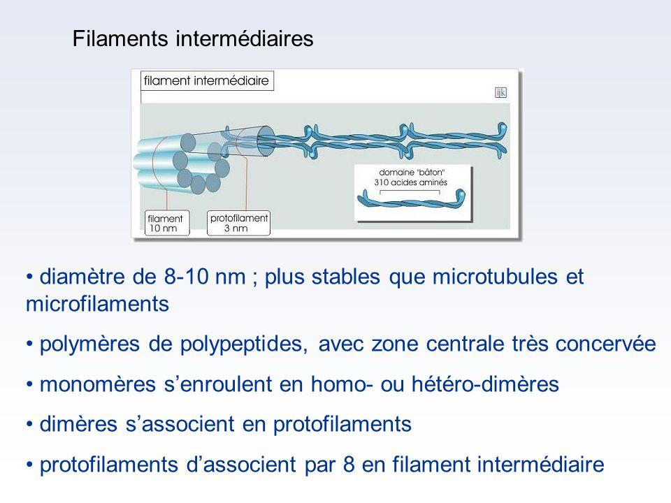 Filaments intermédiaires diamètre de 8-10 nm ; plus stables que microtubules et microfilaments polymères de polypeptides, avec zone centrale très conc