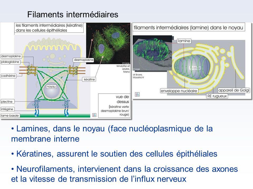 Filaments intermédiaires Lamines, dans le noyau (face nucléoplasmique de la membrane interne Kératines, assurent le soutien des cellules épithéliales