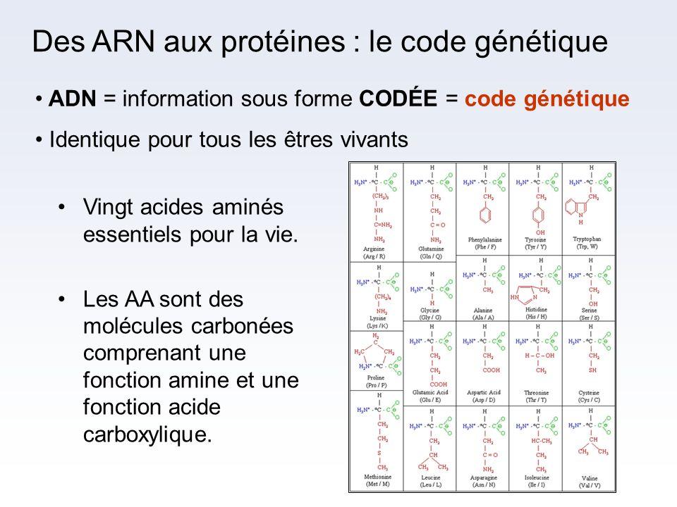 Des ARN aux protéines : le code génétique ADN = information sous forme CODÉE = code génétique Identique pour tous les êtres vivants Vingt acides aminé