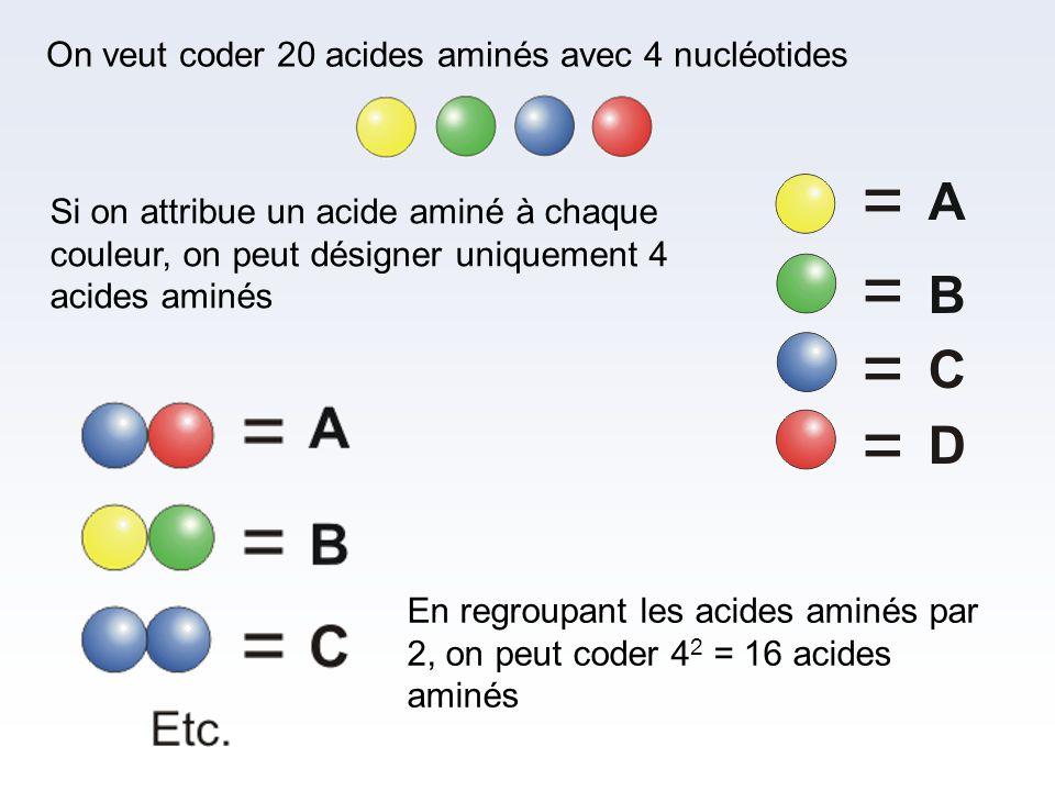 On veut coder 20 acides aminés avec 4 nucléotides Si on attribue un acide aminé à chaque couleur, on peut désigner uniquement 4 acides aminés En regro