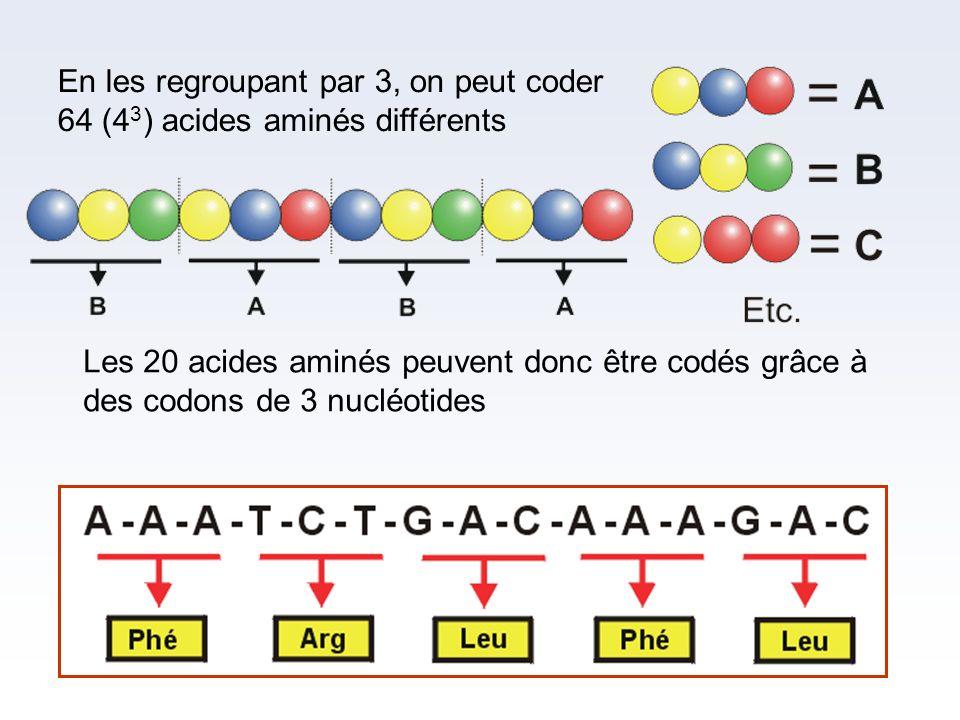 En les regroupant par 3, on peut coder 64 (4 3 ) acides aminés différents Les 20 acides aminés peuvent donc être codés grâce à des codons de 3 nucléot