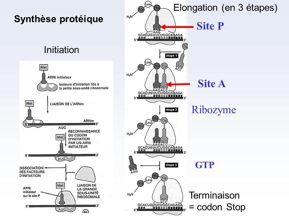 Initiation Elongation (en 3 étapes) Site P Site A Terminaison = codon Stop GTP Ribozyme Synthèse protéique