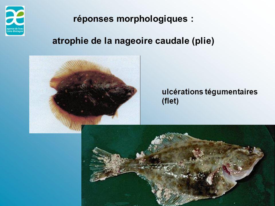 Une réponse morphologique : la nécrose sur un poisson plat, le flet