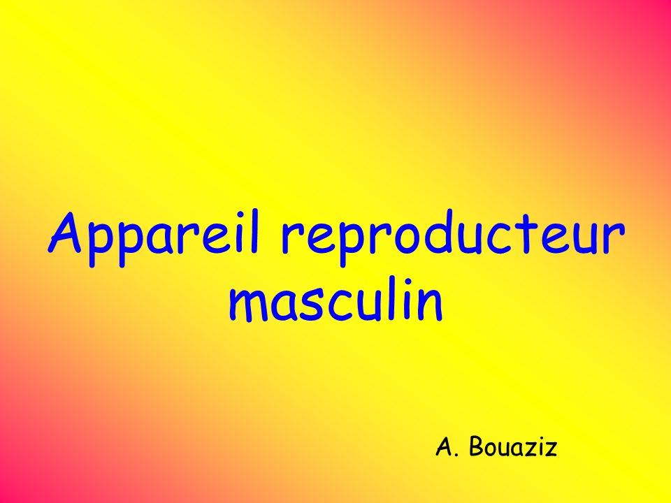 Appareil reproducteur masculin A. Bouaziz