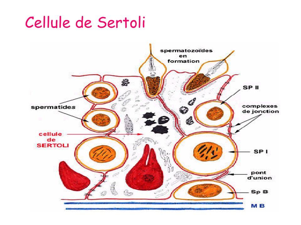Cellule de Sertoli