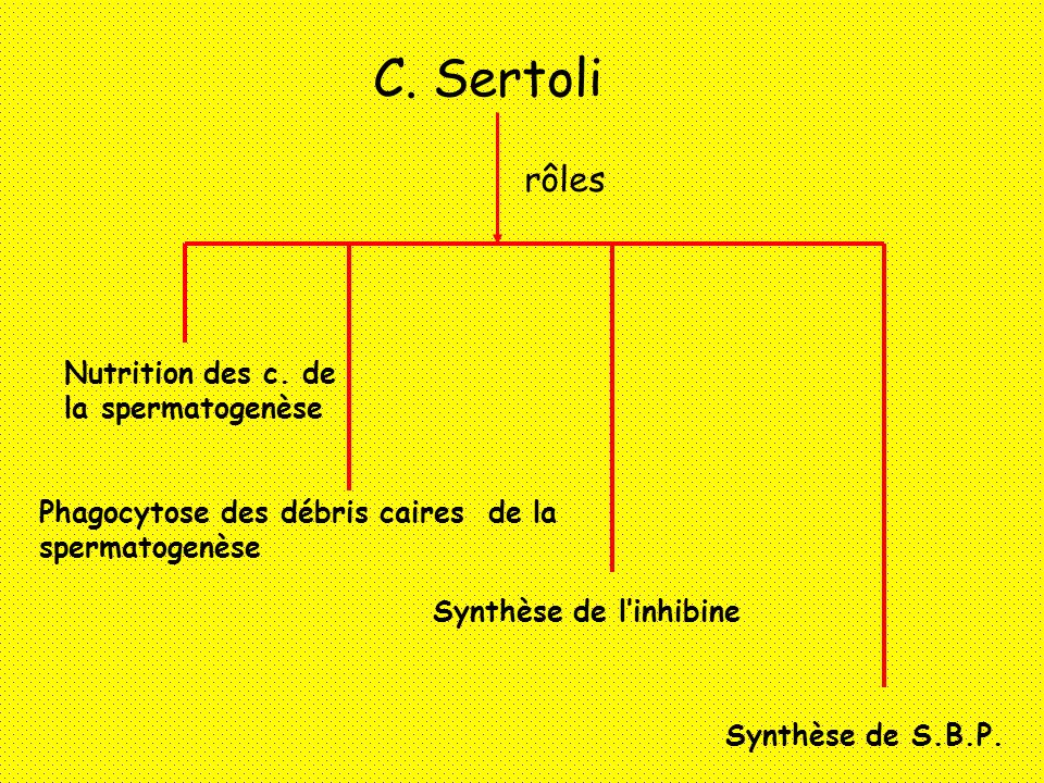C. Sertoli rôles Nutrition des c. de la spermatogenèse Phagocytose des débris caires de la spermatogenèse Synthèse de linhibine Synthèse de S.B.P.