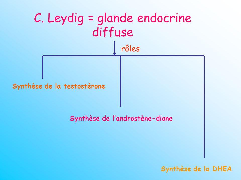 C. Leydig = glande endocrine diffuse rôles Synthèse de la testostérone Synthèse de la DHEA Synthèse de landrostène-dione