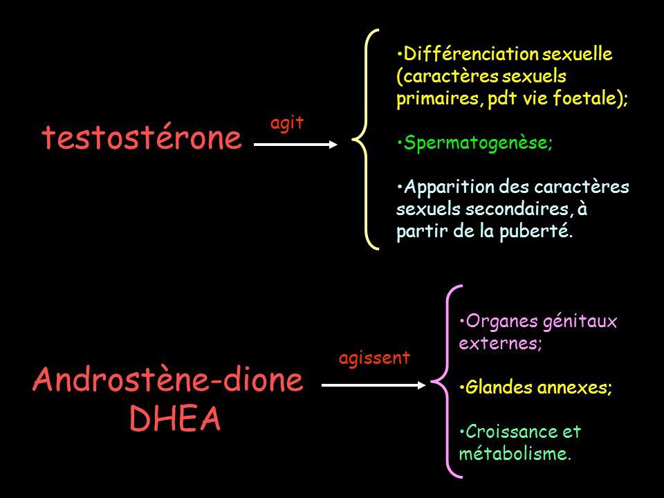 testostérone agit Différenciation sexuelle (caractères sexuels primaires, pdt vie foetale); Spermatogenèse; Apparition des caractères sexuels secondai