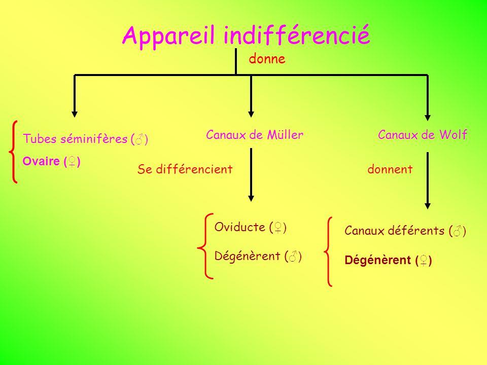 Appareil indifférencié donne Tubes séminifères ( ) Ovaire () Canaux de MüllerCanaux de Wolf Se différencient Oviducte ( ) Dégénèrent ( ) Canaux défére
