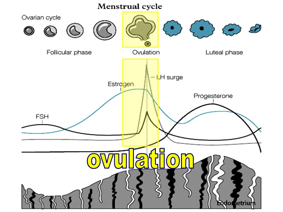 25 26 27 28 Cycle 1 Cycle 2 LH FSH Menses The menstrual cycle Dialogue and modules 13579111315 CL Progesterone FSH 8 12 16 Predictivity of d3 FSH low E2 Negative feedback Inhibin B dialogue E2 Normal Prise en charge globale