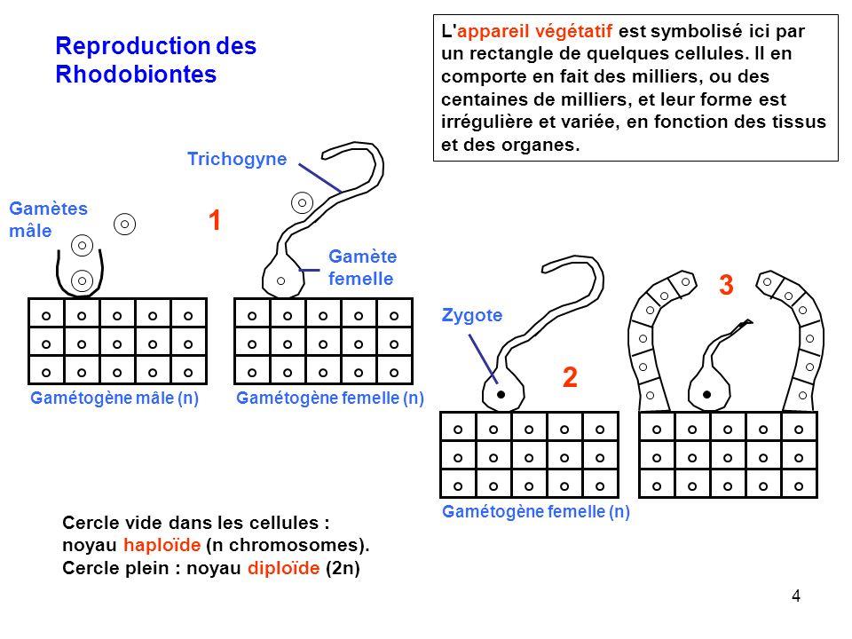 4 L'appareil végétatif est symbolisé ici par un rectangle de quelques cellules. Il en comporte en fait des milliers, ou des centaines de milliers, et
