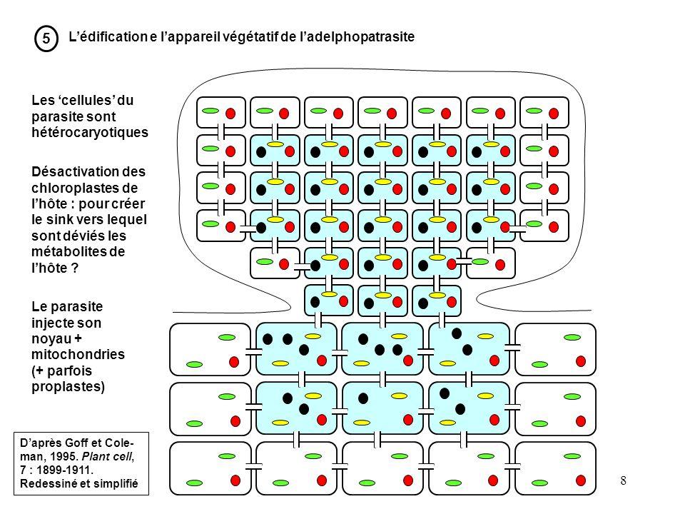 8 5 Lédification e lappareil végétatif de ladelphopatrasite Les cellules du parasite sont hétérocaryotiques Désactivation des chloroplastes de lhôte :