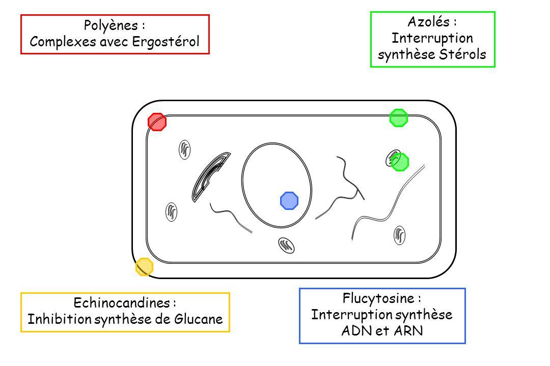 Polyènes : Complexes avec Ergostérol Flucytosine : Interruption synthèse ADN et ARN Azolés : Interruption synthèse Stérols Echinocandines : Inhibition